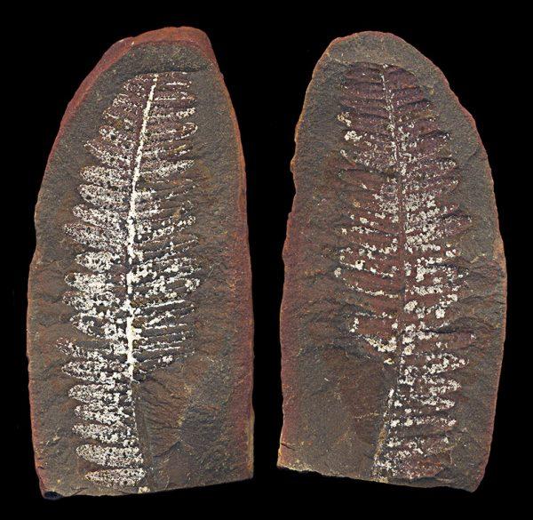 FOSSIL, Illinois, Mason Creek, fern leaf, Devonian, 416-359 million BC