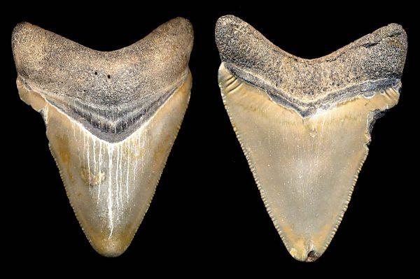 FOSSIL, South Carolina, shark tooth, Eocene, c. 60 million BC