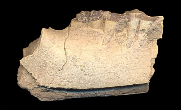 FOSSIL OREODONT JAW FRAGMENT