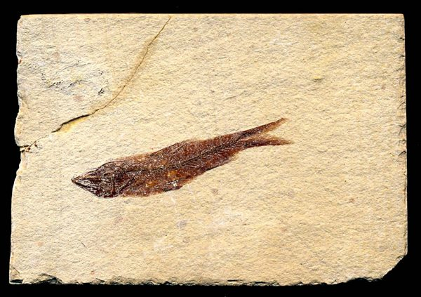 FOSSIL FISH from Lebanon